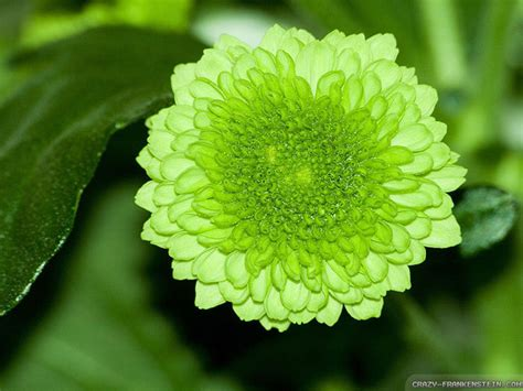 wallpaper of green flowers pictures of green flowers 2 wide wallpaper