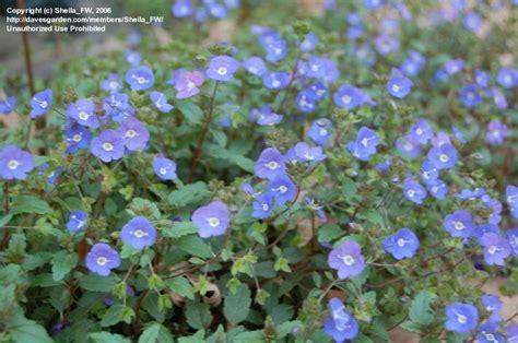 Ga Blue Plantfiles Pictures Creeping