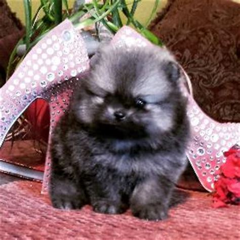 pomeranian breeders in northern california pomeranian breeder california dogs breed sierramichelsslettvet