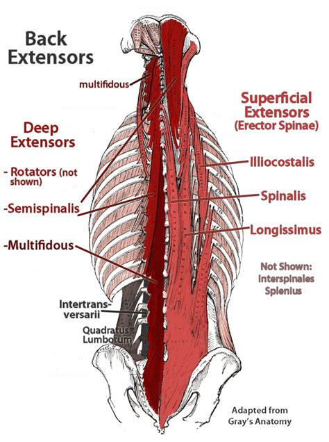 diagram of back muscles lumbar anatomy human anatomy diagram