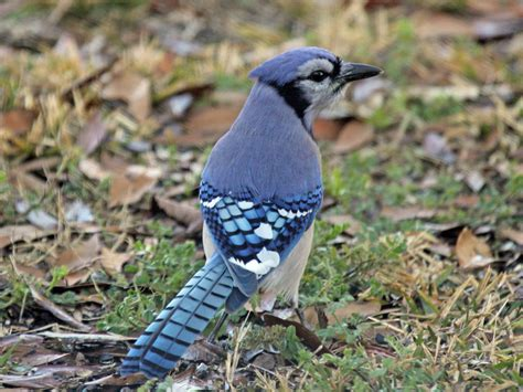 file blue jay ash rwd5 jpg wikipedia