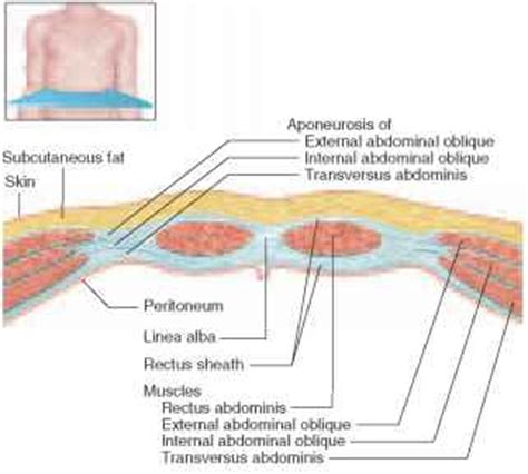 Cross Section Of Abdomen by Muscles Of The Abdomen Unity Companies Rr School Of