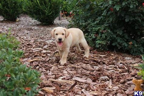 labrador puppies houston labrador puppies in houston tx breeds picture