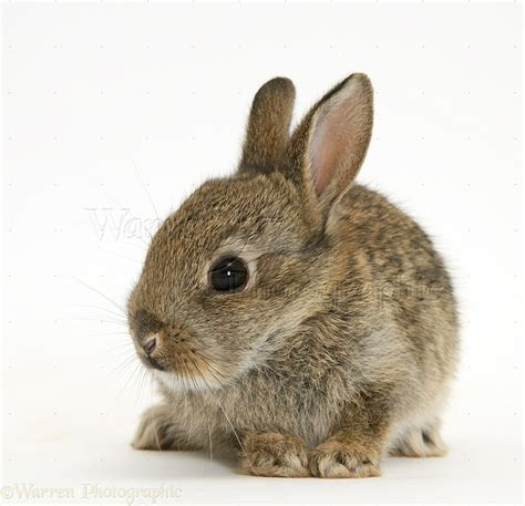 baby european rabbit photo wp21838
