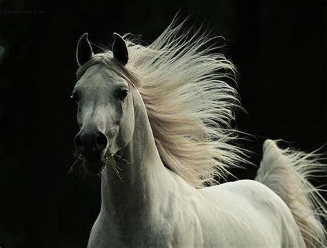 the elegance of the arabian horse ferrari horse pixdaus