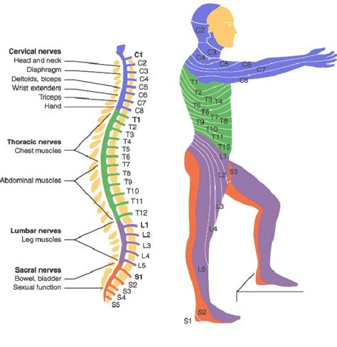 spine c4 c5 diagram spinal cord injury levels bone and spine