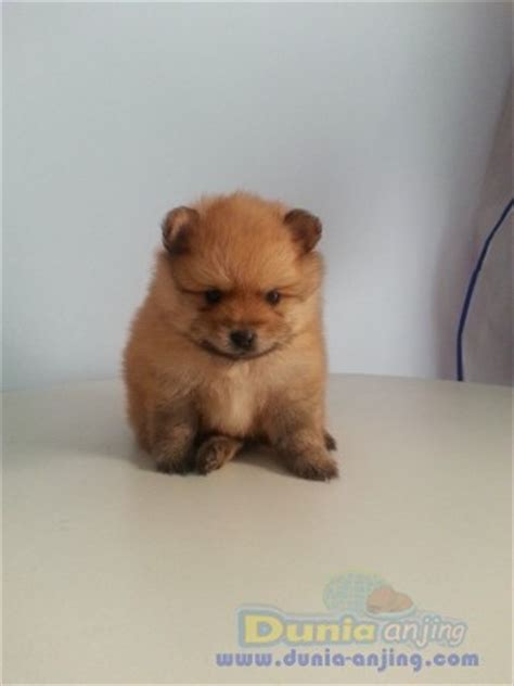 miniature teddy pomeranian puppies dunia anjing jual anjing pomeranian murah mini pomeranian puppies teddy