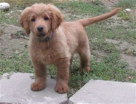 when are golden retrievers fully grown golden cocker retriever grown a puppy that l puppies galore juxtapost