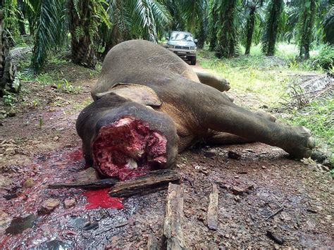 Was Murdered by Elephants In Borneo Slaughtered For Ivory Warning