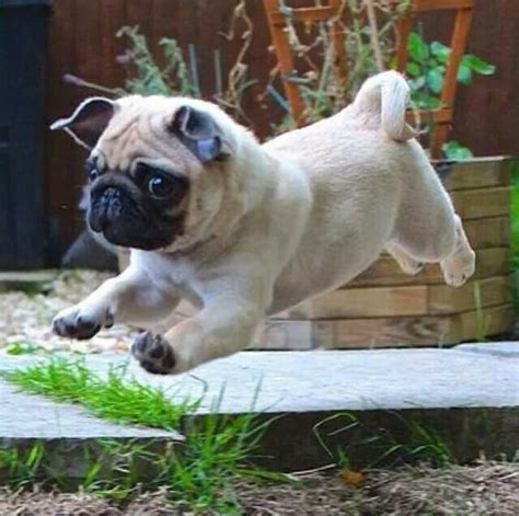 running pugs 15 signs you are a pug person