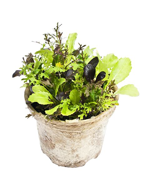 Garden Of Folate Snyder M D The Benefits Of Folate Snyder M D