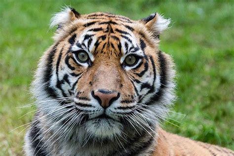 tiger tiger ist es wahr 3981175271 14 vom aussterben bedrohte tiere