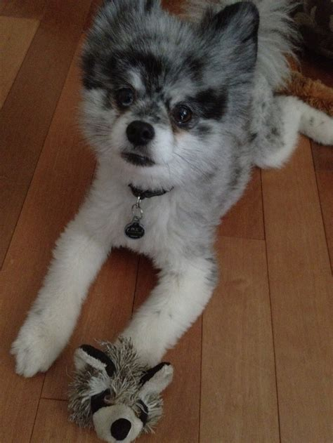 raccoon pomeranian 17 best images about kleinspitzes zwergspitzes and pomeranians oh my on