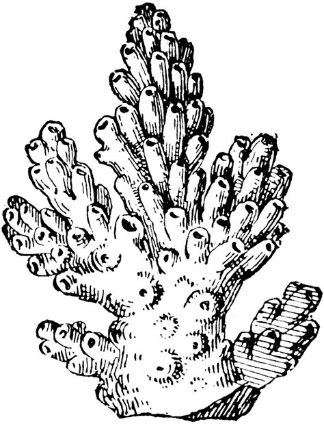 Clipart Of A Sketched Reef how to draw a coral reef madrepore coral clipart etc