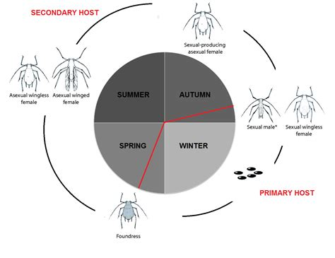 cycle of aphids diagram aphids cycle www pixshark images galleries