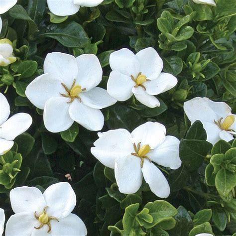 grow jasmine plant indoor read