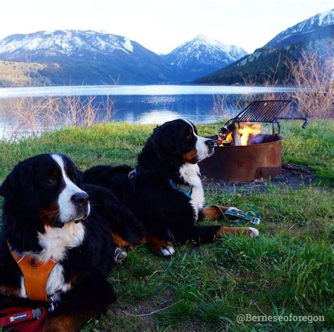 bernese mountain puppies oregon 3784 best beautiful bernese mountain dogs images on bernese mountain dogs