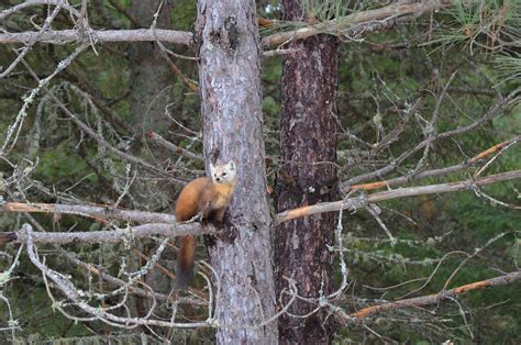 Backyard Birds Ontario Pine Martens In Algonquin Provincial Park