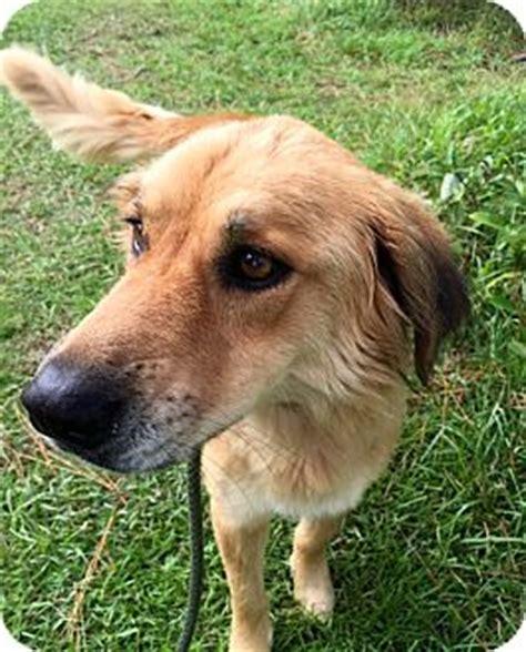 golden retriever rescue ct cheshire ct golden retriever mix meet a for adoption