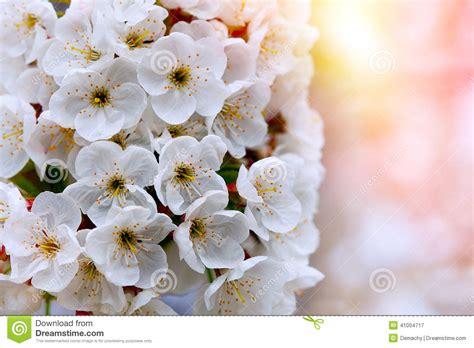 immagini di fiori bianchi fiori bianchi dei fiori di ciliegia immagine stock