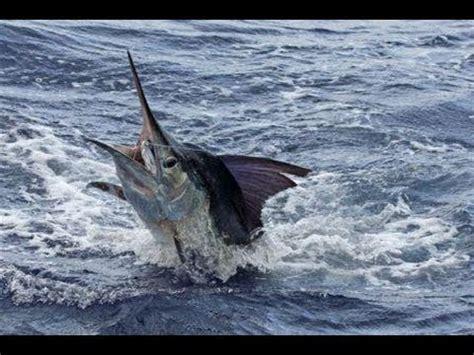 extreme fishing most biggest swordfish 520 lb youtube