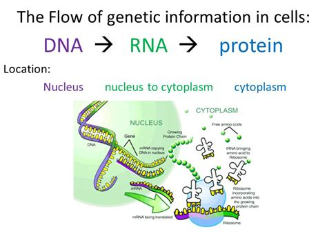 4 proteins in dna dna rna to protein ppt