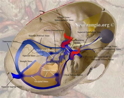 diagram of the sinuses sinus diagram 28 images human anatomy nose diagram