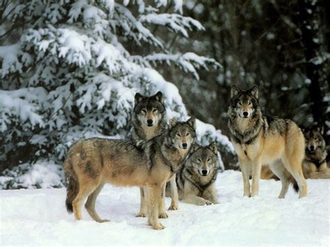 30 best stylized wolves images on 25 best amazing pictures of wolves picsoi