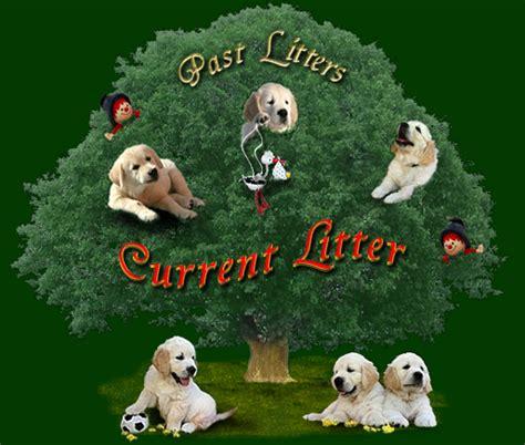 questions to ask when buying a golden retriever puppy gladword s golden retriever hobbyzucht in niedersachsen