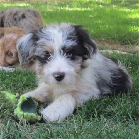 shepherd doodle puppies for sale like really aussie doodle pup so the zoo just
