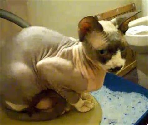 Dna Kucing 01 10 jenis kucing paling mahal di dunia kucing gue
