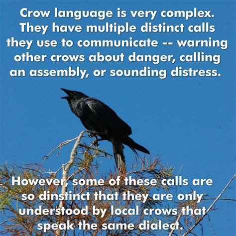 best 25 crow facts ideas on pinterest how smart are