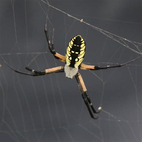 Garden Orb Spider Uk Bite Spiders Creepy Critters And Things Werewoofs