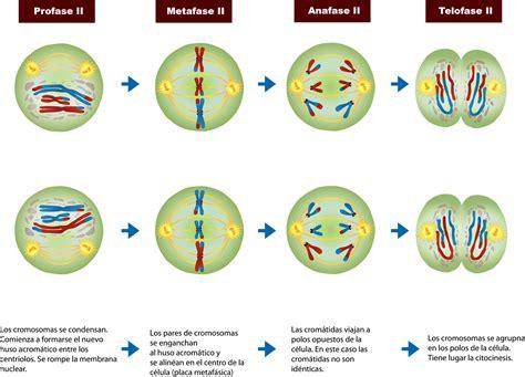 Meiosis 2 Diagram
