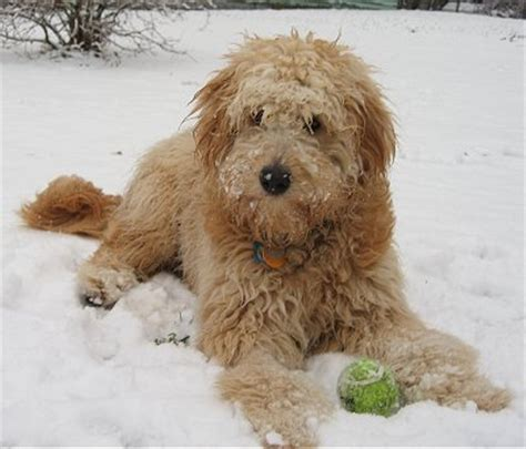 goldendoodle puppy growing goldendoodle puppy growing up goldendoodle roux this is