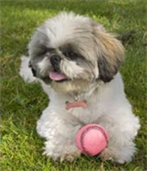 allshihtzu s book of shih tzu care books all about shih tzu care books dogs