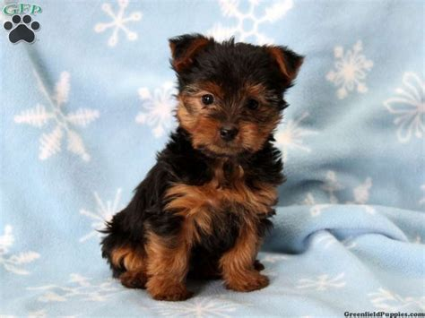 yorkie for sale maryland 17 best images about new litters on lab puppies german shepherd puppies