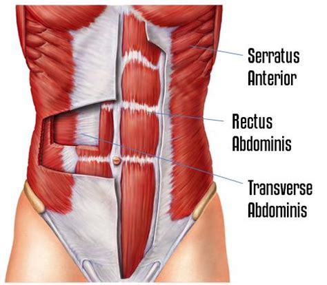 Transverse Abdominal Exercises After C Section by Crawling Planks Hit The Transverse Abdominis Rectus Abdominis And Serratus 3 Muscles That