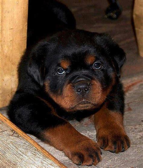 raising a rottweiler puppy 25 best ideas about rottweiler pups on baby rottweiler rottweiler