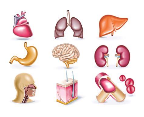 interior del cuerpo humano organos algunos 243 rganos del cuerpo humano en dector e imagen
