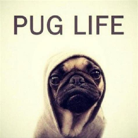 i didn t choose the pug i didn t choose the pug the pug chose me pug chose