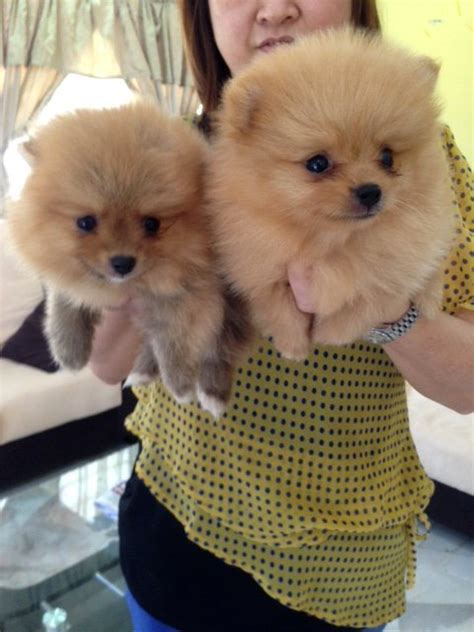 miniature teddy pomeranian puppies pomeranian puppies sold 2 months teddy orange pomeranian from klang kuala