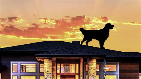 dog on roof what a dog on a roof can teach us all about roof safety