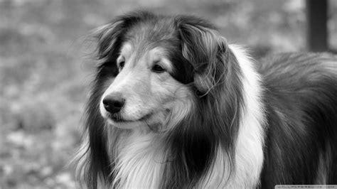 black and white dog wallpaper black and white dog wallpapers dog wallpaper black and