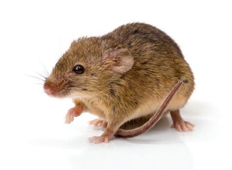 huis muis muizen soorten ongedierteblog