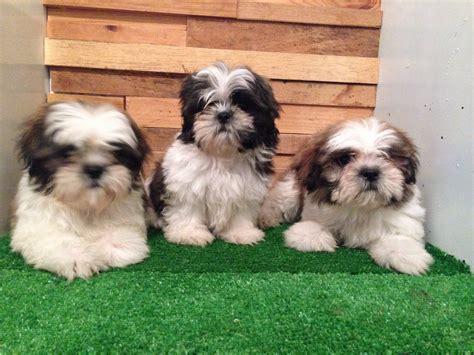 shih tzu pedigree hermosos cachorros shih tzu con pedigree inter azul 11 500 00 en mercado libre