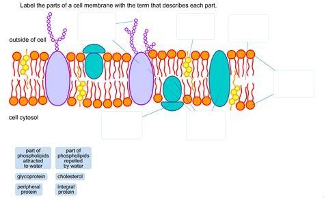 solved label  parts   cell membrane   term