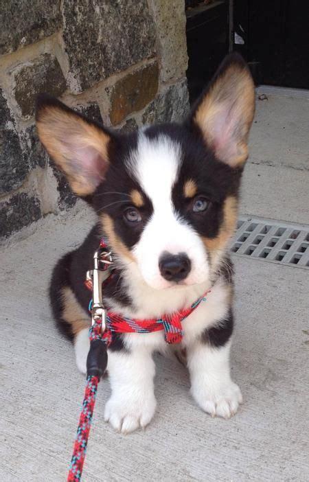 corgi husky puppies 25 best ideas about corgi puppies on corgi puppies corgi and