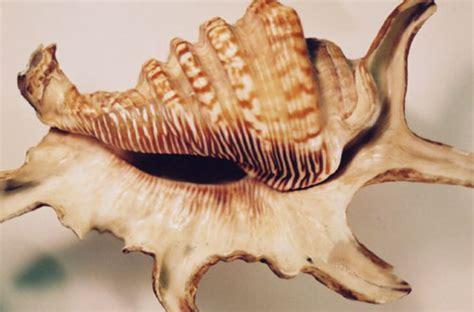 Kerang Kima filum moluska maulanashobur