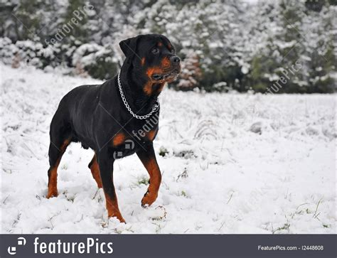 rottweiler in snow rottweiler in the snow picture